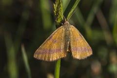 cruentaria jaune Pourpre-barré de Lythria Photographie stock