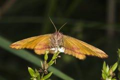 cruentaria jaune Pourpre-barré de Lythria Image libre de droits