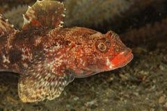海湾布雷斯特cruentatus gobius虾虎鱼嘴唇红色 图库摄影