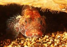 Cruentatus van Gobius - Baai van Brest, Britanny, Frankrijk Stock Fotografie
