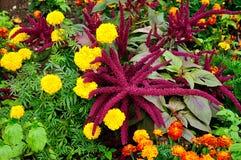 Cruenthus púrpura brillante del amaranto y maravillas multicoloras Imagenes de archivo