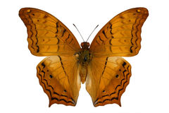 Cruiser (butterfly) Royalty Free Stock Photos