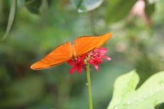 Cruiser butterfly at Chatuchak Park Bangkok Thailand Stock Photos