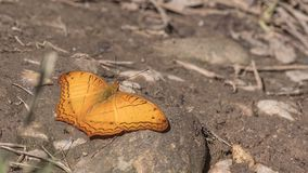 Cruiser butterfly. Is perching on piece of stone royalty free stock photography