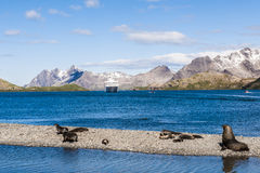 Landscape of South Georgia with seals. Seal family and beautifulf antarctic landscape with mountains in background.The only possiblility to see this scenery is royalty free stock image