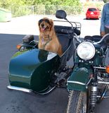 Cruisin' Canine Royalty Free Stock Photography