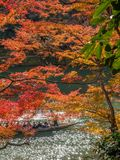 Cruising boat along river in Arashiyama, Japan. KYOTO, JAPAN - OCTOBER 24 : Old classic cruising boat along river with colorful leaves trees in autumn season in Stock Image
