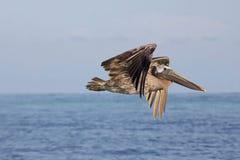 Cruising Brown Pelican stock photo
