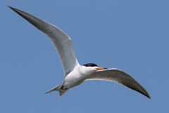 Cruising for fish. Forster's Tern, Sterna forsteri, in flight over Bols Chica Ecological Preserve looking for fish Stock Photography