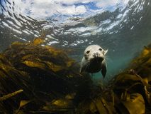 Grey Seal cruising in the shallows. Cruising Grey Seal. Farne Islands, England. Underwater photography. Scuba Diving Royalty Free Stock Image