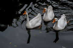 Free Cruising In The Pond In The Great White Goose Royalty Free Stock Images - 83189209