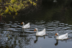 Cruising in the pond in the Great White Goose. Cruising in China Rugao water garden pond in the Great White Goose. Photo taken on December 24, 2016 stock photos
