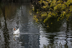 Cruising in the pond in the Great White Goose royalty free stock images