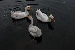 Cruising in the pond in the Great White Goose. Cruising in China Rugao water garden pond in the Great White Goose. Photo taken on December 24, 2016 stock images