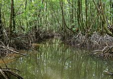 Cruising the River amongst the Mangrove Trees in Mangrove Forest Royalty Free Stock Photo