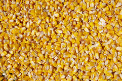 Crumble corns of fodder maize Royalty Free Stock Photo