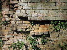 Crumbling Grunge Brick Wall with Ivy. Royalty Free Stock Photos