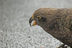crumbs που τρώνε το kea Στοκ Φωτογραφία
