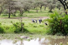 Crumenifer de Leptoptilos de cigogne de marabout en parc national de Serengeti Photo stock