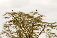 Crumenifer de Leptoptilos de cigogne de marabout par le lac Photo libre de droits