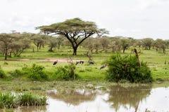 Crumenifer de Leptoptilos de cigogne de marabout par le lac Photo stock