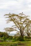 Crumenifer de Leptoptilos de cigogne de marabout par le lac Photos libres de droits