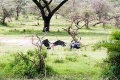 Crumenifer de Leptoptilos de cigogne de marabout par le lac Image stock