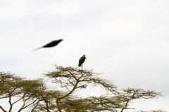 Crumenifer Leptoptilos аиста Marabou в дереве Стоковые Фотографии RF