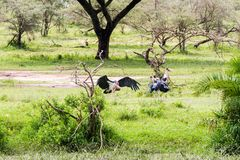Crumenifer Leptoptilos аиста Marabou озером Стоковые Изображения RF