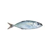 Crumenophthalmus de Selar, scad de Bigeye, poisson d'isolement sur le dos de blanc photos stock