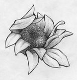 Crumpled daisy close up sketch. Hand drawn pencil sketch of a daisy with crumpled petals, close up with small details Stock Photo