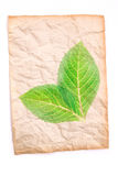 Crumpled old paper with transparent green leaf Royalty Free Stock Images
