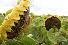 Crumpled sunflowers Royalty Free Stock Images
