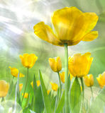 Crumpled tulips. The crumpled of beautiful yellow tulips Royalty Free Stock Photos