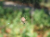 Crusader spider in his web in forest Royalty Free Stock Image