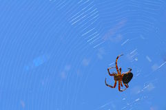 Free Crusader Spider In The Network Stock Image - 15900341