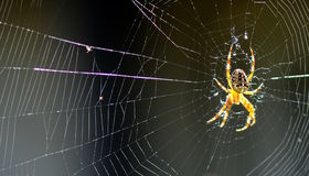 Crusader spider in the network Royalty Free Stock Images