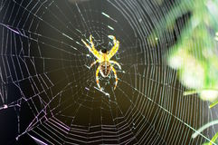 Crusader spider in the network Royalty Free Stock Photo