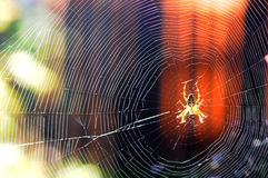 Crusader spider in the network stock image