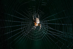 Crusader spider Stock Photography