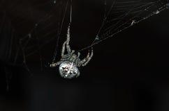 Crusader spider 3 Stock Photos