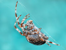 Crusader spider Stock Photos