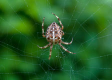 Crusader spider Royalty Free Stock Photography