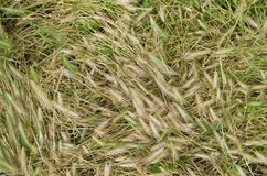 Crushed dry and fresh grass. On a meadow as a background Royalty Free Stock Photo