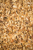 Crushed grains. Crushed Malted barley for the use of brewing beer Stock Images