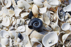 Crushed sea shells scattered on ground. A lot of white sea shells scattered on ground, some of them crushed and one black sea snail shell in the middle royalty free stock photos