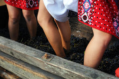 Crushing grapes. Blue grapes being crushed by barefoot girls as a romanian ritual at the begining of the harvest Stock Photo