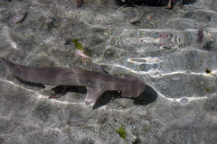 Crusing鲨鱼 免版税库存照片