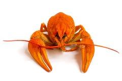 Crustáceo rojo Imagen de archivo libre de regalías