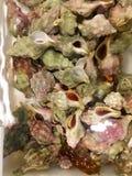 Crustáceos de la concha del bebé en el tanque Fotos de archivo libres de regalías